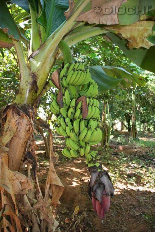 bananovnik-(1)